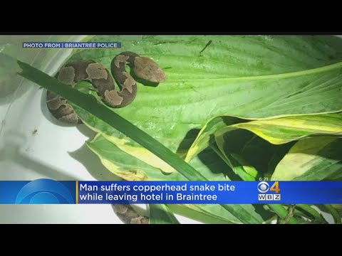 Police: Man Bitten By Venomous Snake While Leaving Braintree Hotel