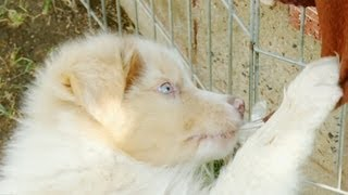 Australian Shepherd Puppy Wants to Rip Off The Tag On This Blanket