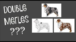 What is a Double Merle?  Life With Aspen  YouTube Videos