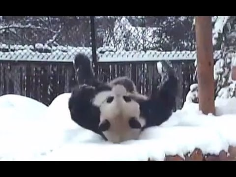 Giant Panda Has Fun in the Snow