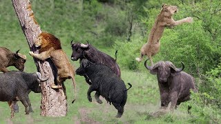 PREDATOR BECOMES THE PREY | Buffalo Herd Flick Lion Into Air To Rescue Warthog