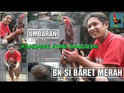 UMBARAN ☆ KANDANG AYAM BANGKOK ( AYAM BK ) from YouTube · Duration:  7 minutes 54 seconds