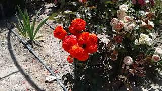 Питомник роз Полины Козловой арки из плетистых роз