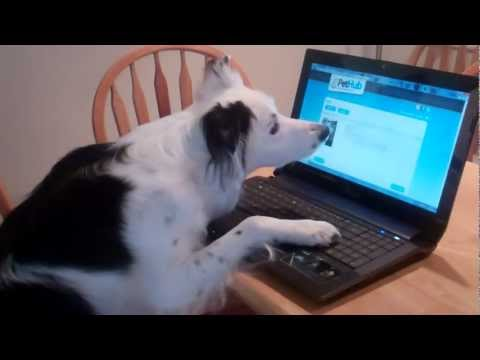 Smart Border Collie Reunites Lost Dog with Owner using PetHub.com!