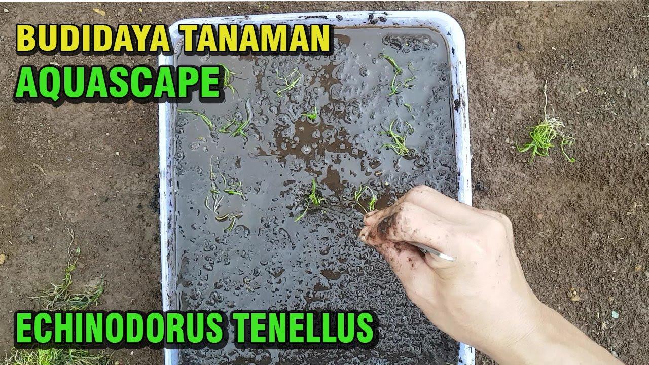 CARA BUDIDAYA TANAMAN AQUASCAPE (ECHINODORUS TENELLUS ...