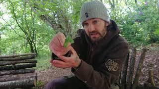 Germander Speedwell, Veronica Chamaedrys, foraging for herbal healing teas