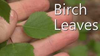 Survival Medicine - Birch Leaves (Betula)