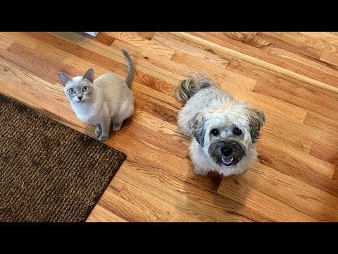 New Kitten Meets Havanese Dog for the First Time! | Become Friends!