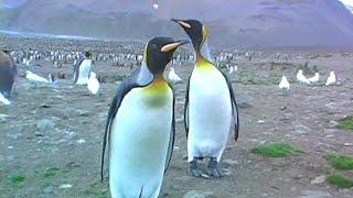 Curious Penguins Check Out Tourists