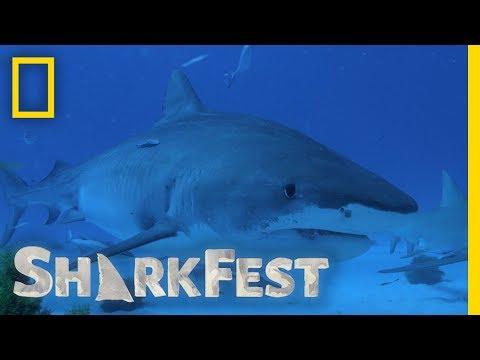 Tiger Sharks: Trash Cans of the Sea | SharkFest