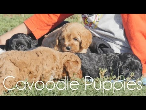 Very cute Cavoodle puppies playing