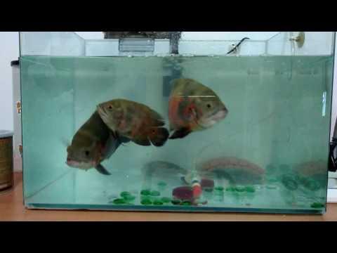 clean my oscars fish tank