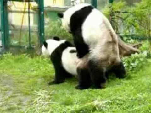 Panda Couple Mating Zoo Vienna Youtube