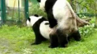 Panda couple mating! Zoo Vienna