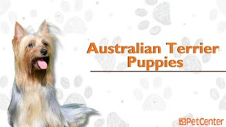 Is The Australian Terrier The Right Puppy For You?