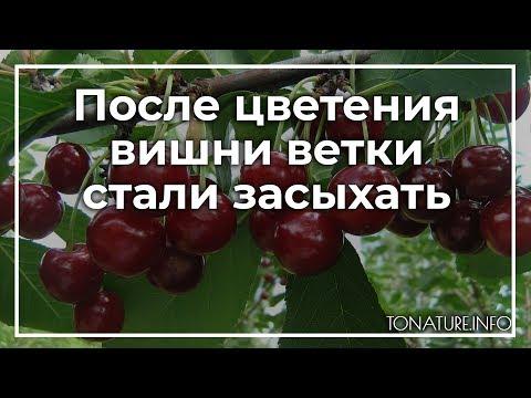 После цветения вишни, ветки стали засыхать | toNature.Info | черенковани | садоводство | размножение | выращивание | огородные | комнатные | растения | растений | культуры | tonatureinfo