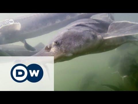 Romania: The Endangered Sturgeon   Focus On Europe