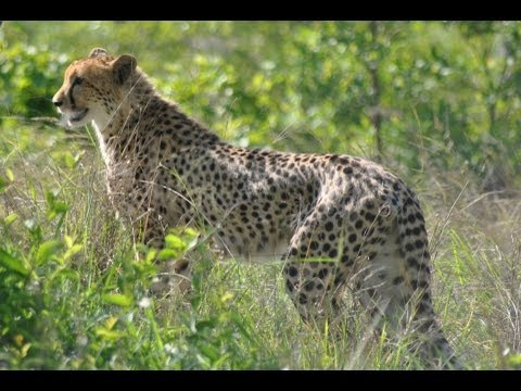 Cheetah Chased Off Kill By Baboons - 21 April 2013 - Latest Sightings