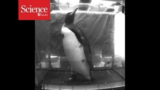 Why Is This Penguin Walking On A Treadmill?