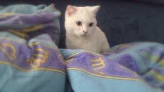 Красивая белая кошка делает массаж