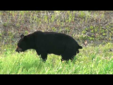 Black Bear Pooping in the Woods in HD