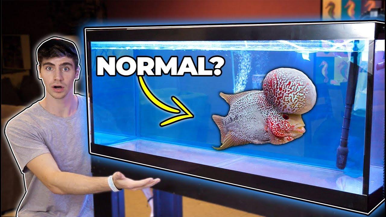 GIANT Flowerhorn FISH for Freshwater Aquarium!!