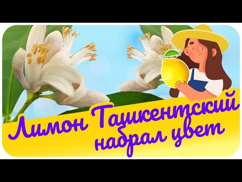 Лимон Ташкентский (оранжевый) снова  набрал цвет .