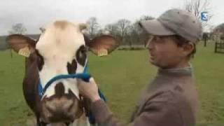 Bavette, vache Normande de l'Orne, au Salon de l'agriculture 2010