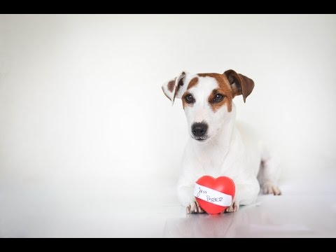 ♥ Jess | Jack russell terier | 3 years ♥