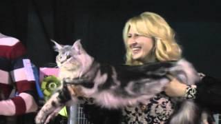 Выставка кошек в Сокольниках 21 11 2015. Фрагменты