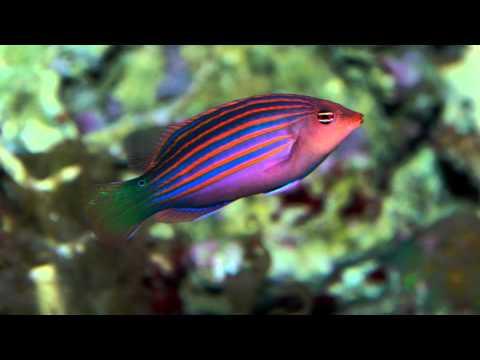Ocean Motion Reef Build 7 Six Line Wrasse