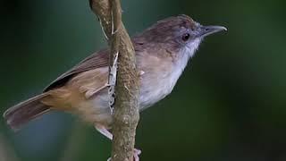 Suara Pikat Burung Cicoho Atau Pelanduk Semak