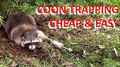Coon Trapping - Cheap and Easy (Overnight Success)