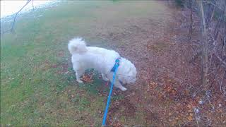 0309 Walking the Great Pyrenees