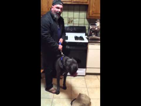 Cane Corso first protection test