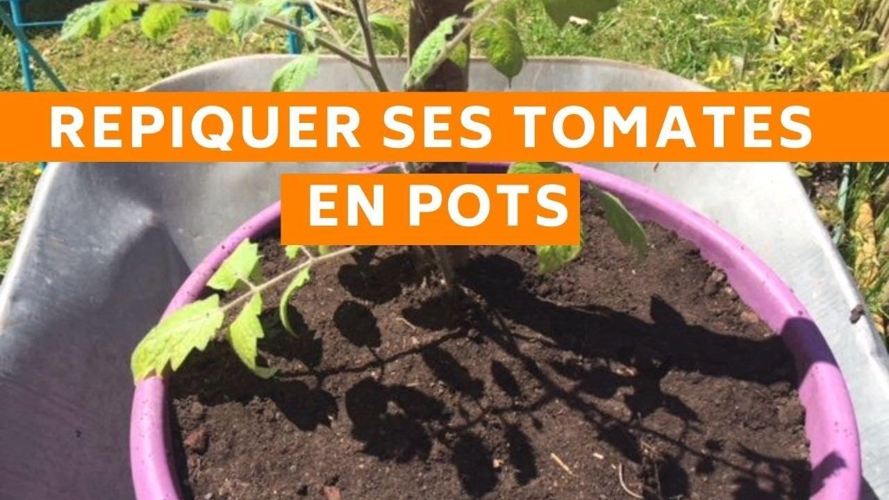 Planter Des Tomates En Pot repiquer ses tomates en pots (sans se fatiguer)
