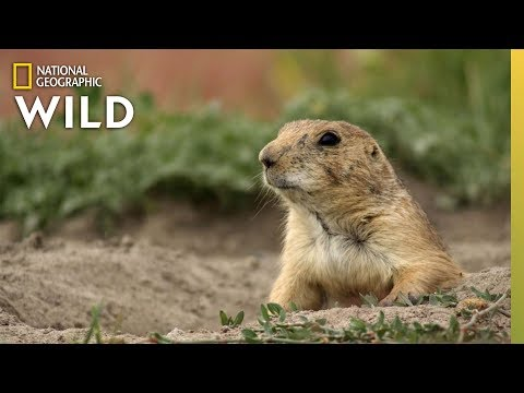 Prairie Dog Population Of Texas | America The Beautiful
