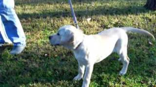 Labrador Puppy Training Playing Fetch