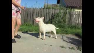 Bull Terrier Male - Lok Az Gotrek At Four Horsemen - 10 Months Old