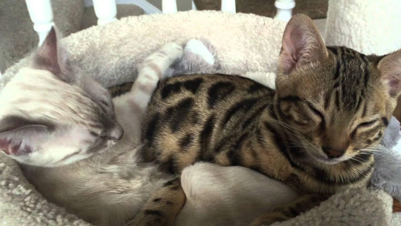 So Purr Loud Why Kittens Do