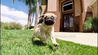 Zelda & Zeus The Perfect Akc Male & Female Pugs For Sale In San Diego, Ca