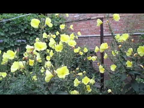 Цветок энотера (ночная свеча). Evening primrose flower (night candle).
