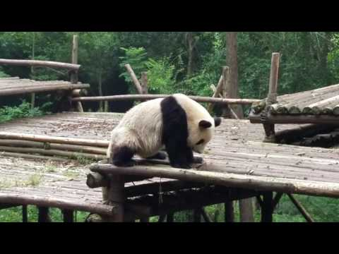 Panda scathing butt  - Chengdu Panda Base 2016 streaming vf