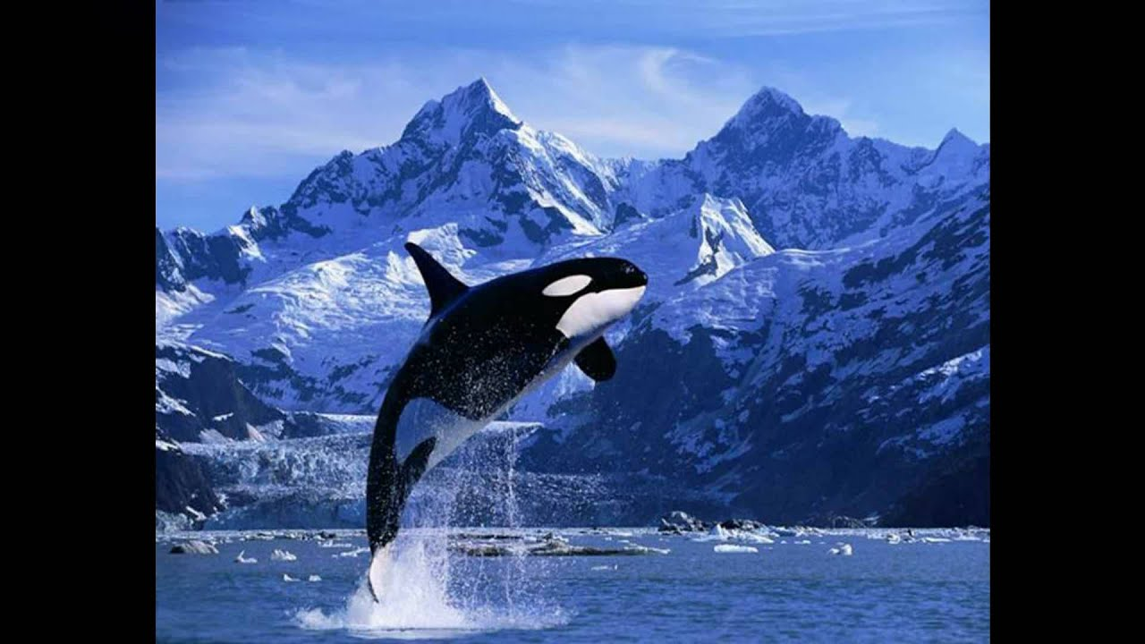 Hd Orca Wallpaper Killer Whales Orca Off The Coast Of Vancouver Island