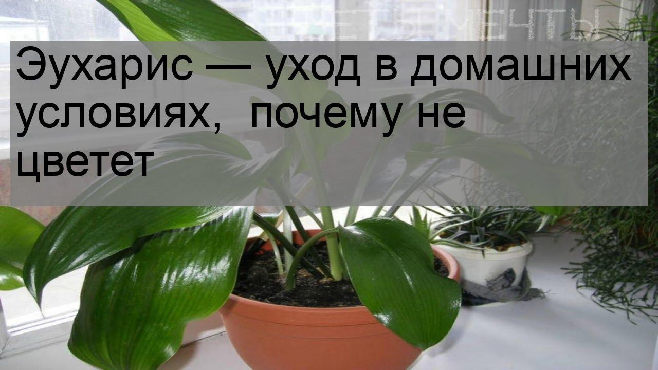 эухарис размножение семенами в домашних условиях