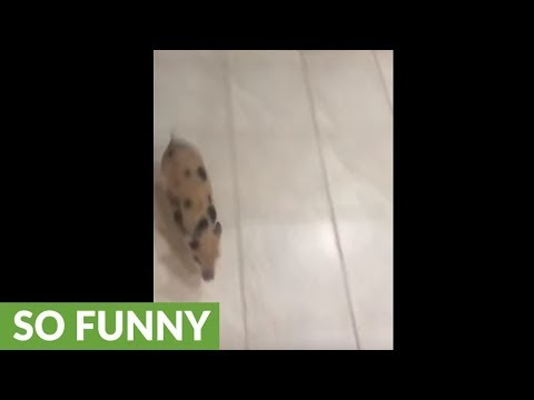 Little piggy zooms all over the house