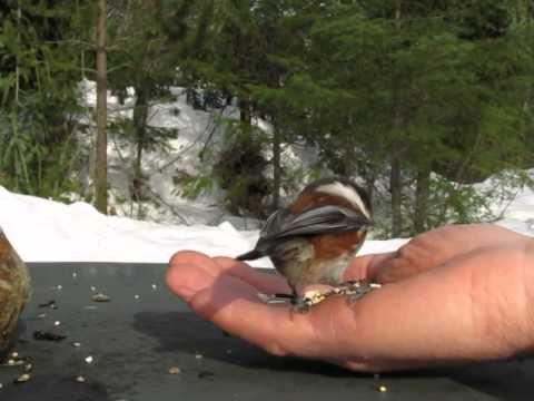Black-Capped Chickadee & Chestnut-Backed Chickadee