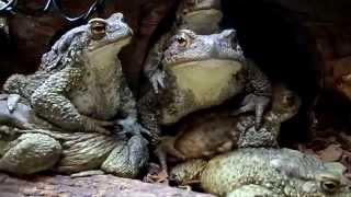 Просто жабы
