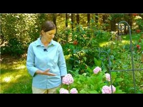 Maintaining & Pruning Shrubs : How to Make a Hydrangea Bloom Blue