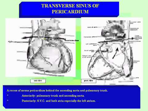 08-Thorax anatomy  -pericardium  الدكتور احمد كمال